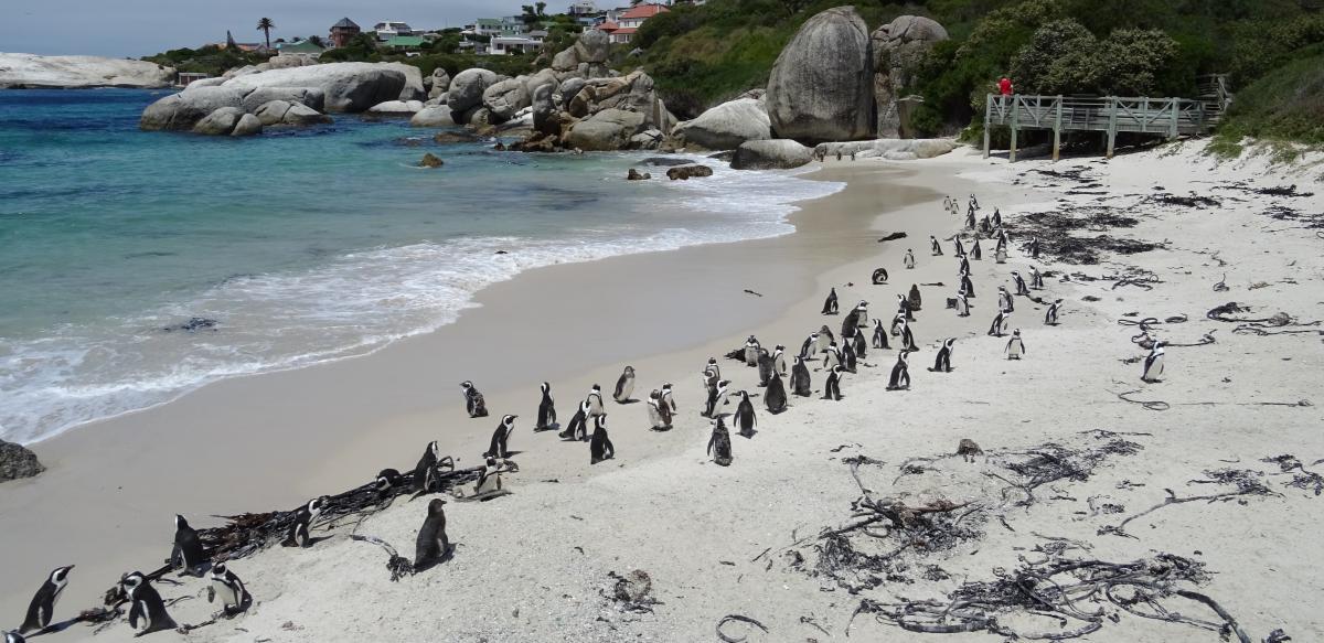 Kolonie von afrikanischen Jackass-Pinguinen am Boulders Beach bei Kapstadt