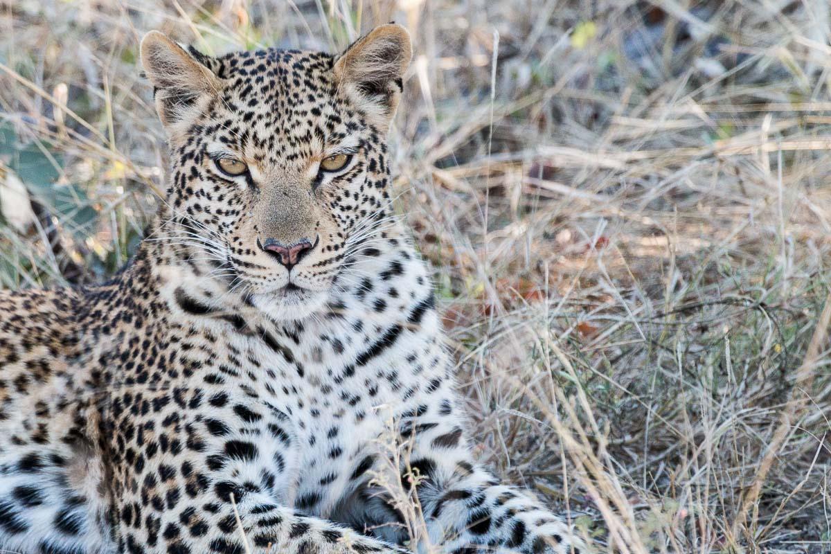 Leopard gesichtet auf Safari in Botswana