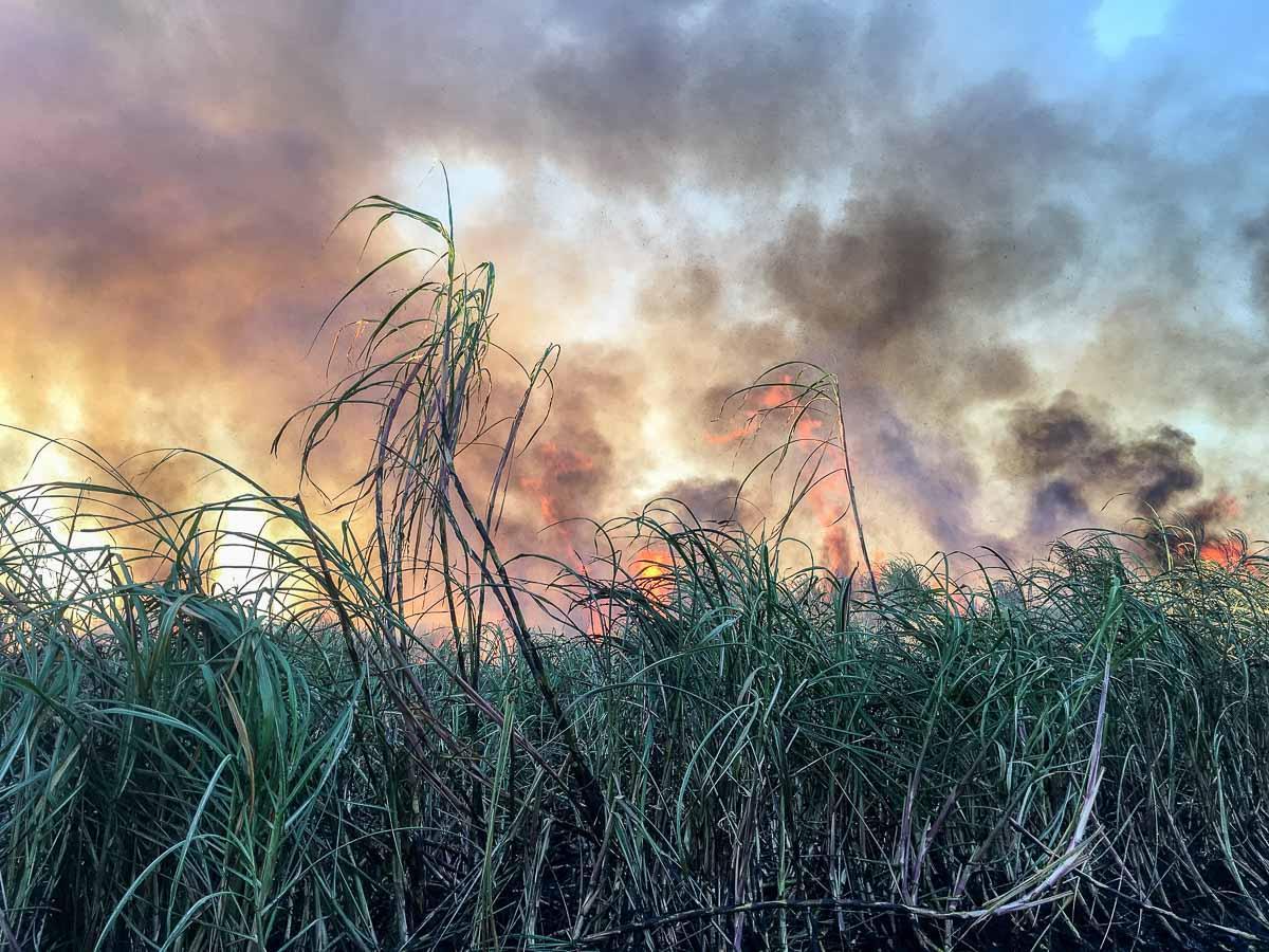 brennendes Zuckerrohr auf dem Feld