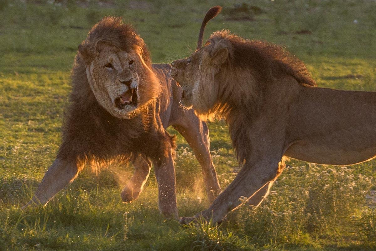zwei Löwen-Männchen kämpfen mit wehenden Mähnen