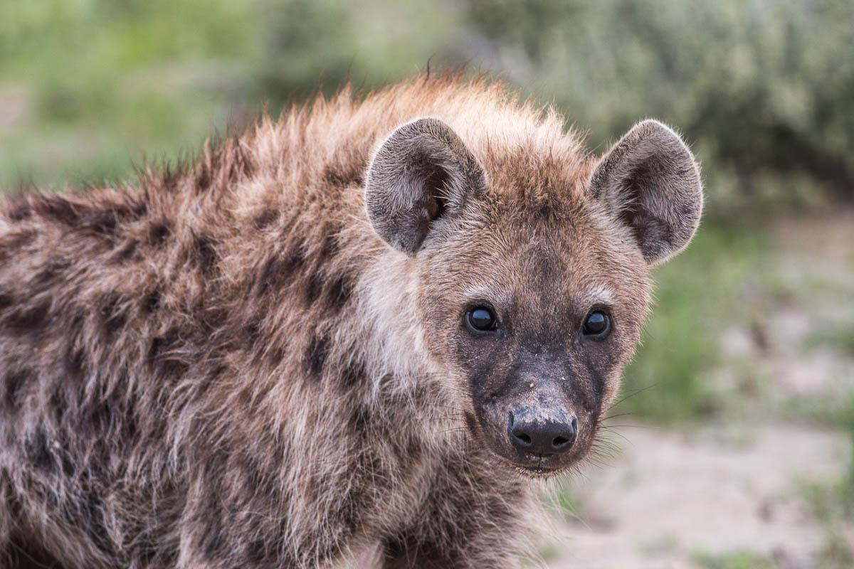 Hyaene in der EtoschePfanne in Namibia