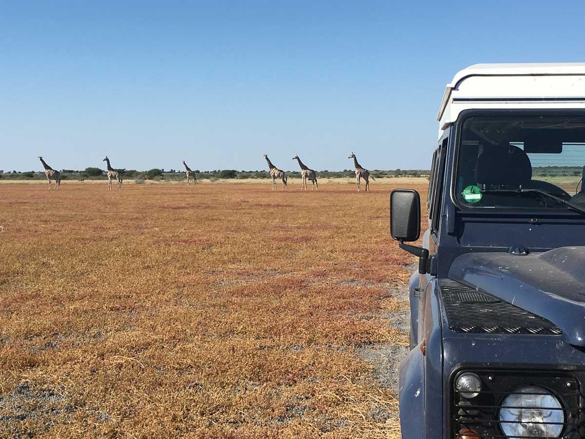 LandRover in der Savanne Afrikas vor Giraffen