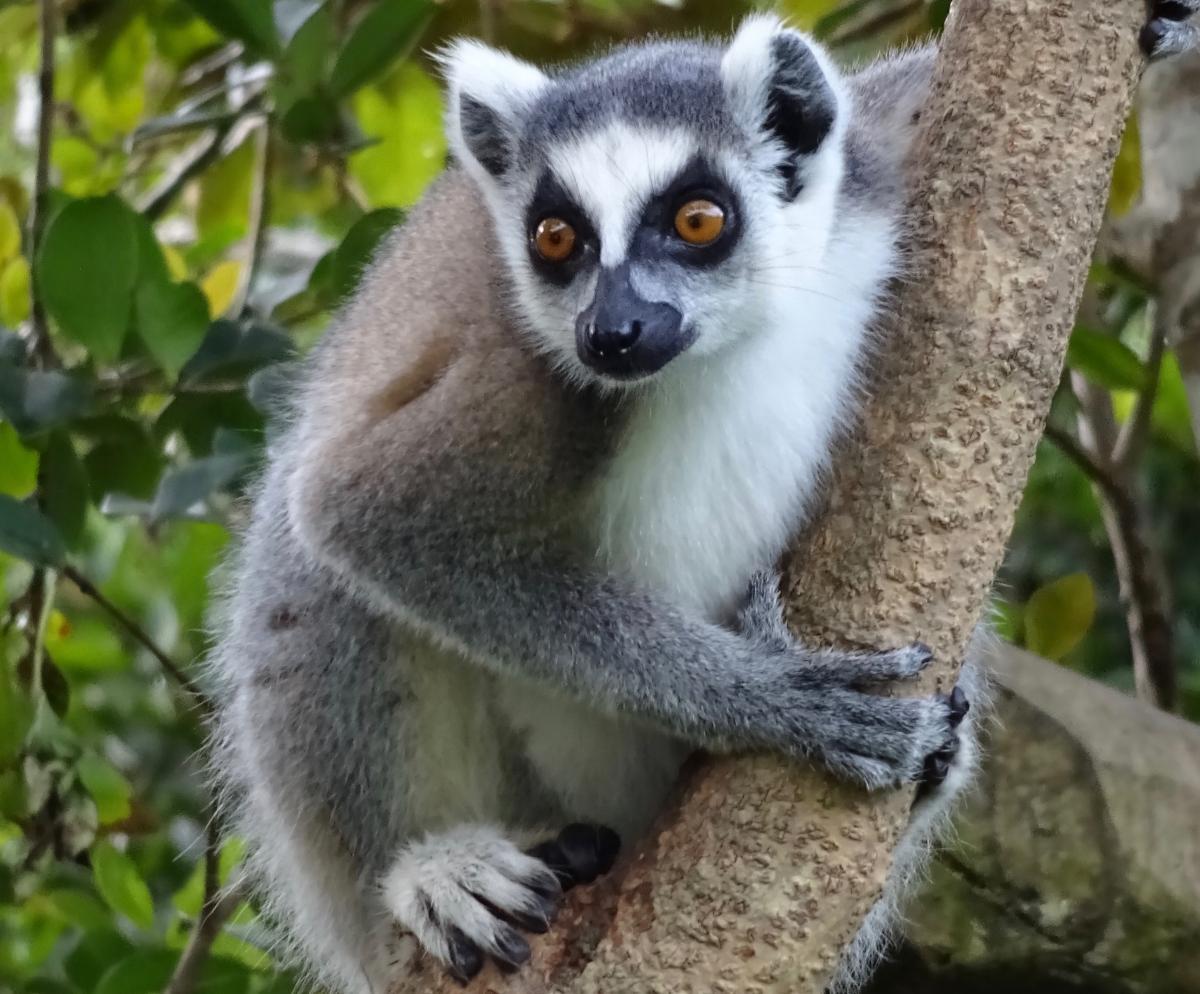 afrika tours individuell bringt Sie zu den Lemuren auf Madagaskar