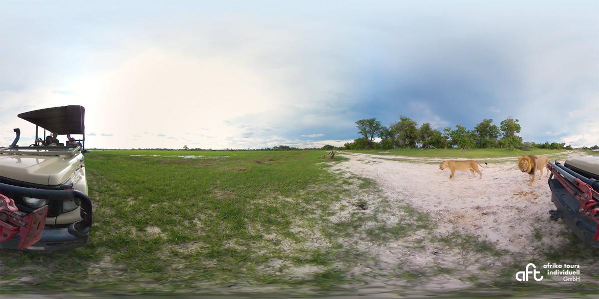 360 Grad Safaribild von Löwen in Botswana
