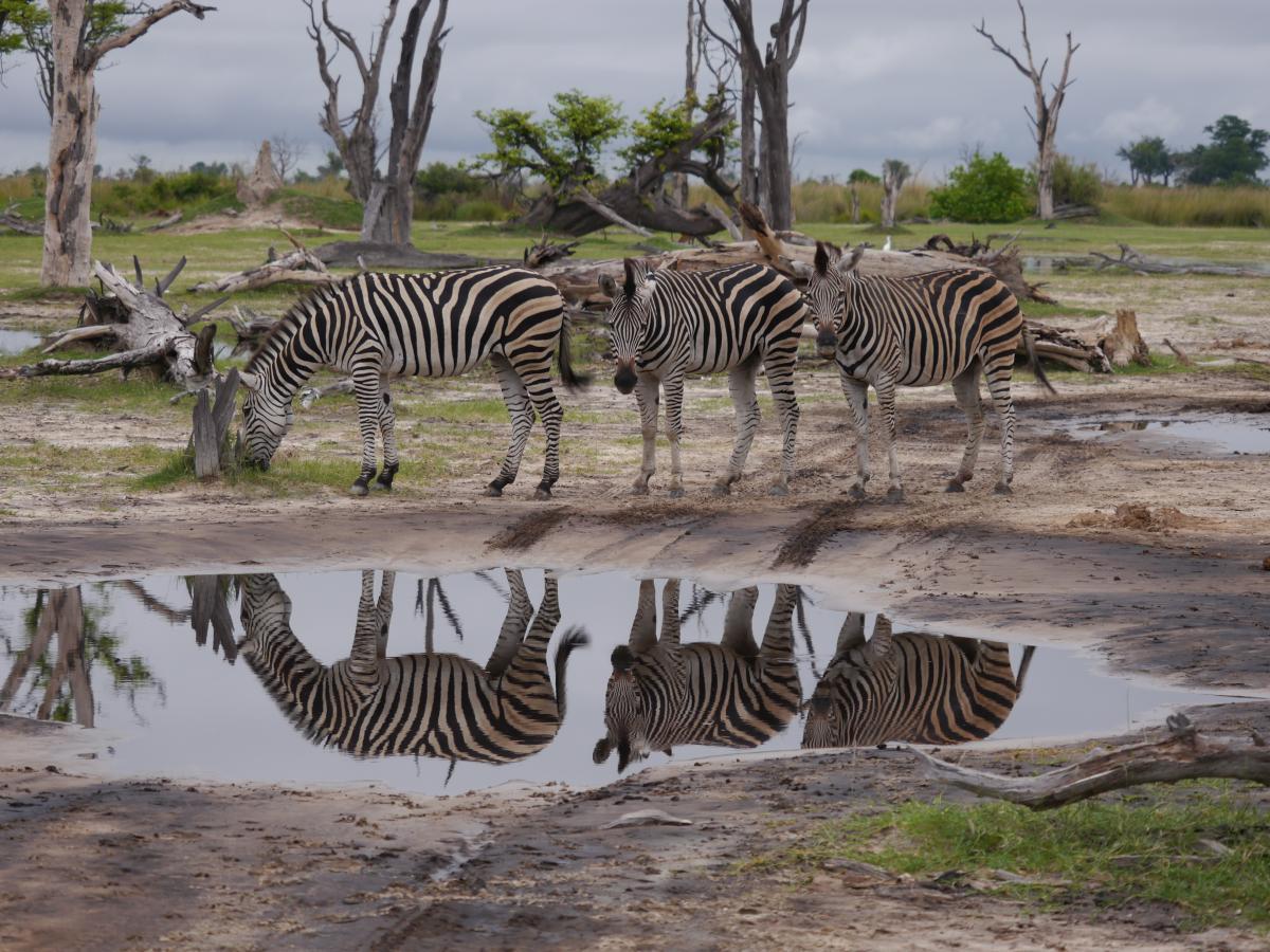 perfekte Bedingungen für eine Fotosafari - Zebraherde in Botswana