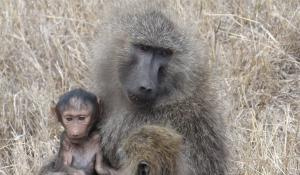 Gehen Sie auf fesselnde Safaris in der Ngorongoro Conservation Area in Tanzania