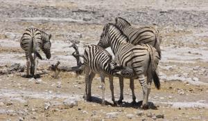 Beobachten Sie große Herden von Zebras in der Steppe des Etoscha National Park in Namibia