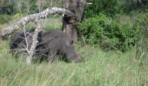 Der Hluhluwe National Park in Südafrika ist bekannt für seine große Nashornpopulation