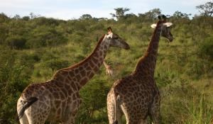 Gehen Sie auf spannende Pirschfahrten im Hluhluwe National Park in Südafrika