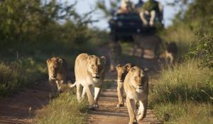 Löwen im Kapama Buffallo Camp