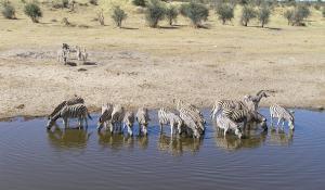 Beobachten Sie von dem Aussichtspunkt des Leroo La Tau Camps Zebras und andere Wildtiere am Boteti Fluss