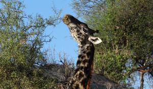Gehen Sie auf Safari in dem wildtierreichen Tarangire National Park in Tanzania