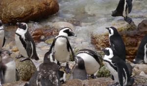 Beobachten Sie die Pinguinkolonie am Boulders Beach bei Kapstadt