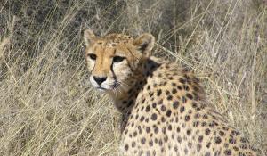 Mit ein wenig Glück können Sie auf Ihrer Safari durch den Etoscha National Park Geparden beobachten