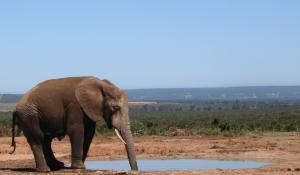 Der Addo Elephant National Park in Südafrika hat die weltweit größte Elefantendichte