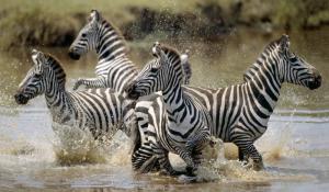 Zebras im Grumeti Reserve