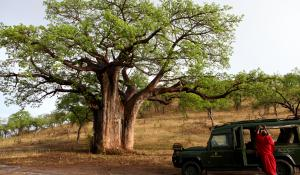 Die riesigen Baobab Bäume im Tarangire National Park in Tanzania sind ein großartiger Anblick