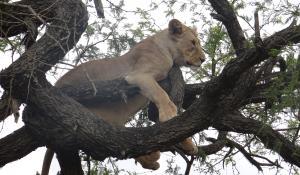 Beobachten Sie die einzigartigen Baumlöwen im Serengeti National Park in Tanzania