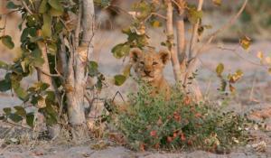 Baby Löwe im afrikanischen Busch