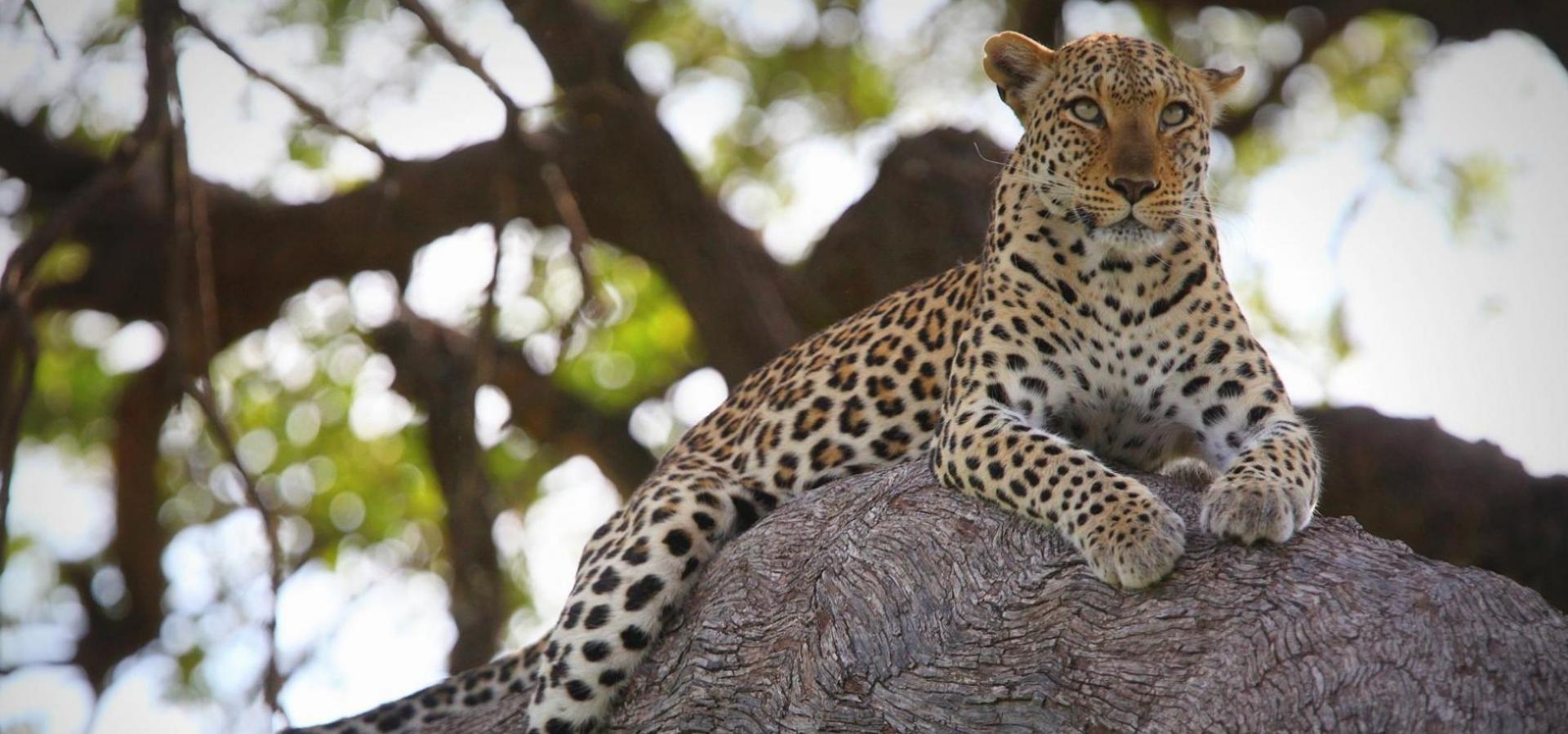 Afrika Safaris - Leoparden und andere wilde faszinierende Tiere auf einer Safari entdecken