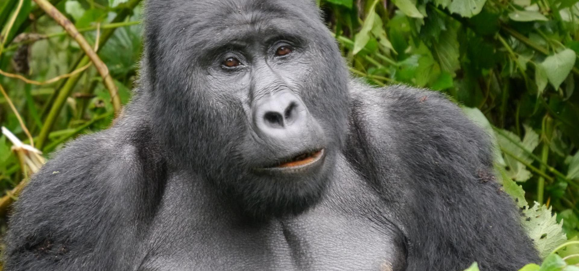 Gorlla Trekking - Uganda Urlaub & Reisen