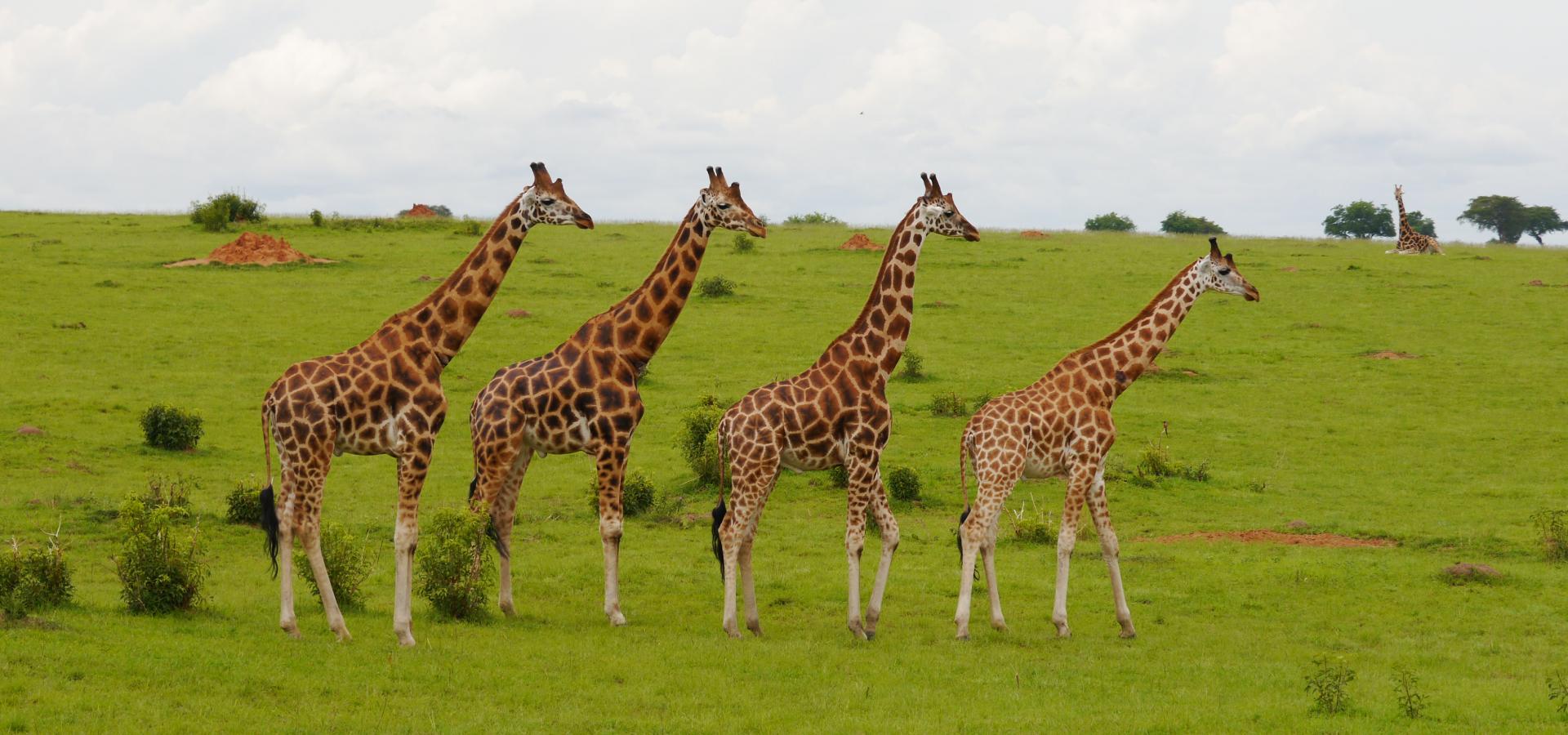 Machen Sie einzigartige Safaris in den wunderschönen Nationalparks Ugandas
