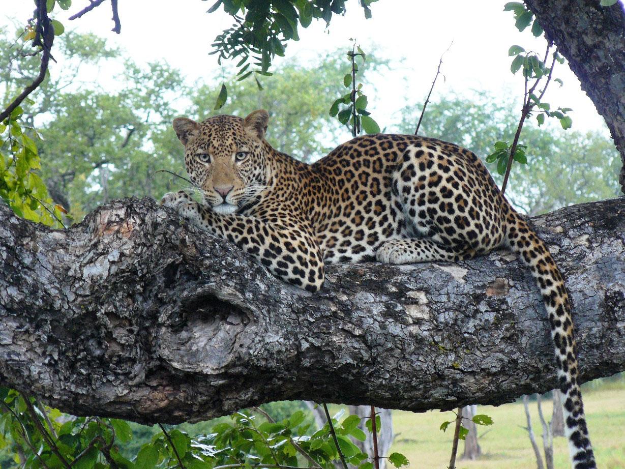 Leopard in Sambia