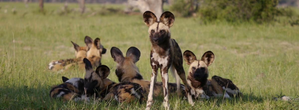 Afrikas bunte Hunde sind wild und selten