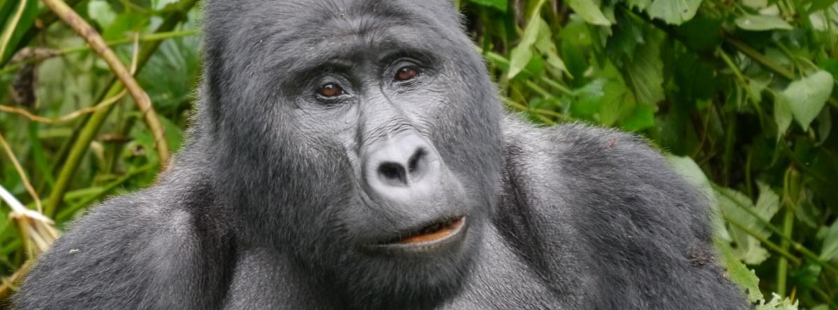 Berggorilla im Regenwald von Uganda schaut direkt in die Augen des Betrachters