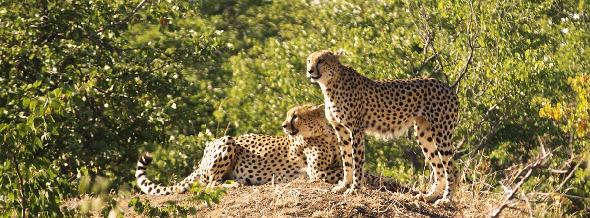afrika tours individuell Logo - Geparden Safaribild