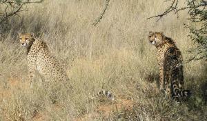 Erleben Sie bei diversen Aktivitäten in der AfriCat Foundation in Okonjima Wildkatzen wie Geparden oder Leoparden hautnah