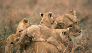 Savute Löwen