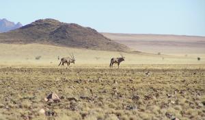 In der Namib Wüste in Namibia sind eine Vielzahl der eleganten Orxy-Antilopen beheimatet