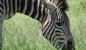 Im privaten Manyeleti Game Reserve in Südafrika werden exzellente Safariaktivitäten angeboten