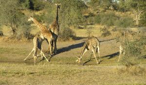 Versuchen Sie von dem Aussichtspunkt des Leroo La Tau Camps Giraffen und andere Wildtiere am Boteti Fluss zu erspähen