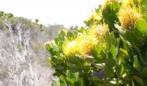Erleben Sie die Blütenpracht am Kap der guten Hoffnung in Südafrika
