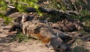 Mit etwas Glück entdecken Sie im Krüger National Park in Südafrika Hyänen