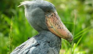 Vogel im Queen Elizabeth National Parks
