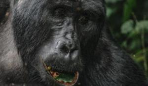 Gorilla Trekking
