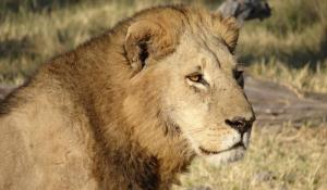 Löwe im Krüger Park