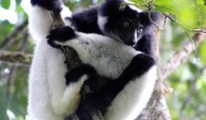 Indri Indri Lemuren