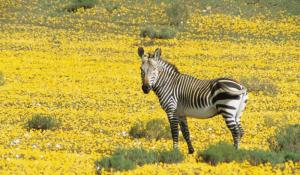 Zebra bei Bushmans Kloof