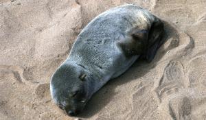 Erleben Sie die Robbenkolonie am Cape Cross nördlich von Swakopmund
