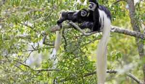 Arusha Colobus Monkeys