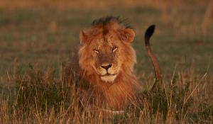 Großes Löwenmännchen