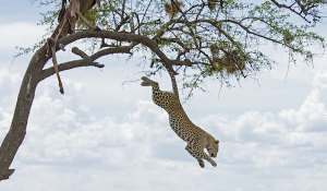 Leopard Sprung aus dem Baum