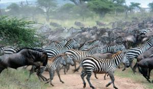 Serengeti WildebeestMigration