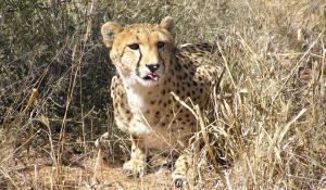Mit ein wenig Glück können Sie einen Geparden bei der Jagd im Etoscha National Park in Namibia beobachten