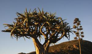 Besuchen Sie den einzigartigen Köcherbaumwald bei Keetmanshoop in Namibia