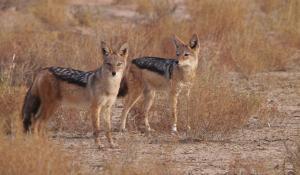 Machen Sie interessante Tierbeobachtungen in der Trockensavanne der Kalahari Wüste in Namibia